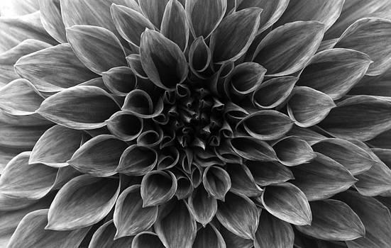 Sumit Mehndiratta - Dahlia flower