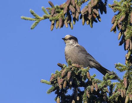 Gray Jay by Doug Lloyd