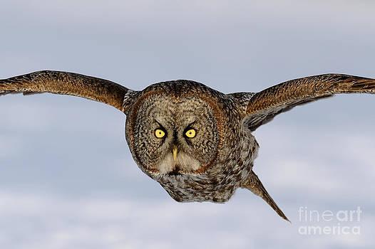 Scott Linstead - Great Grey Owl