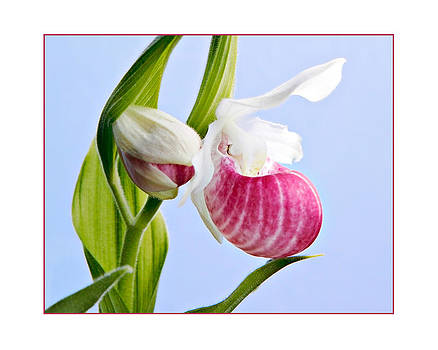 Lady Slipper by Fuad Azmat