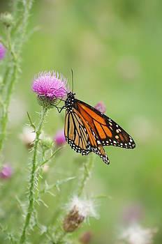 Monarch Butterfly by Heidi Poulin