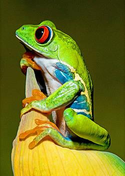 Millard H Sharp - Red-eyed Treefrog