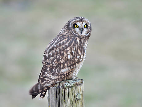 Short-Eared Owl by Kathy King