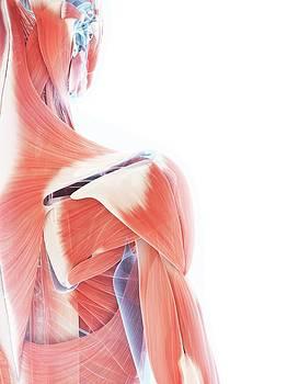 Female Muscular System by Sebastian Kaulitzki