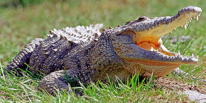 Millard H. Sharp - American Crocodile