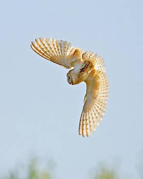 Barn Owl by Paul Scoullar