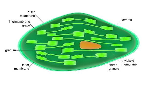 Chloroplast by Science Photo Library