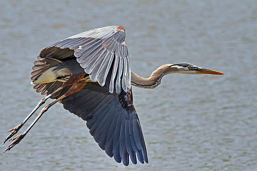 Great Blue Heron by Jim Nelson