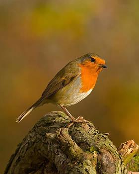 Robin by Paul Scoullar