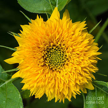 Edward Fielding - Sunflower