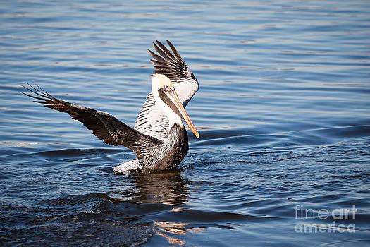 Michael McStamp - Brown Pelican