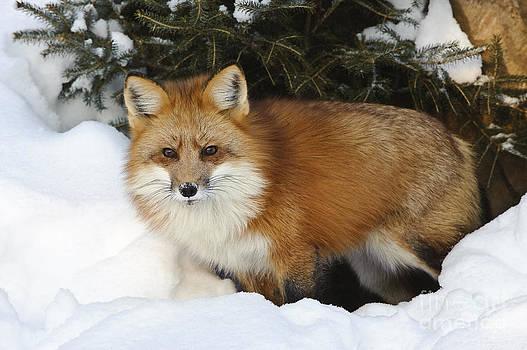 John Shaw - Red Fox