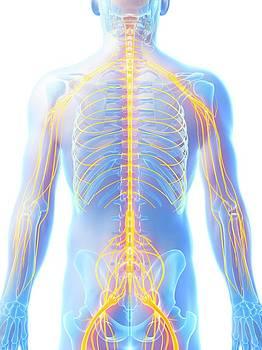 Human Nervous System by Sebastian Kaulitzki