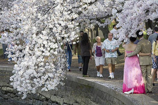 Cherry Blossoms by JP Tripp