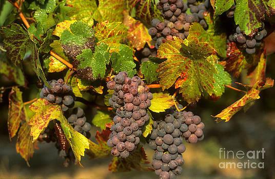 BERNARD JAUBERT - Grapes growing on vine