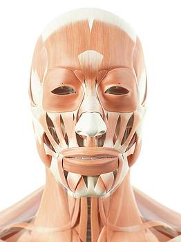 Human Facial Muscles by Sciepro
