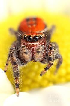 Scott Linstead - Cardinal Jumping Spider
