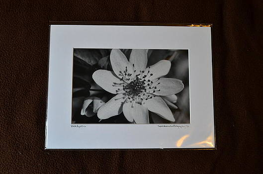9x12 Matted - White Hepatica by Becky Anders