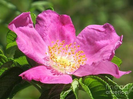 Michaline  Bak - A Beach Rose of Pennsylvania