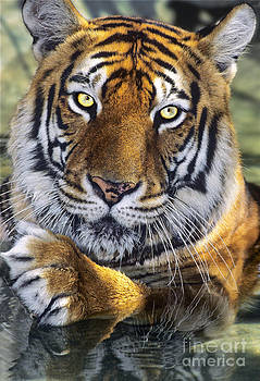 Dave Welling - A Bengal Tiger Portrait Endangered Species Wildlife Rescue