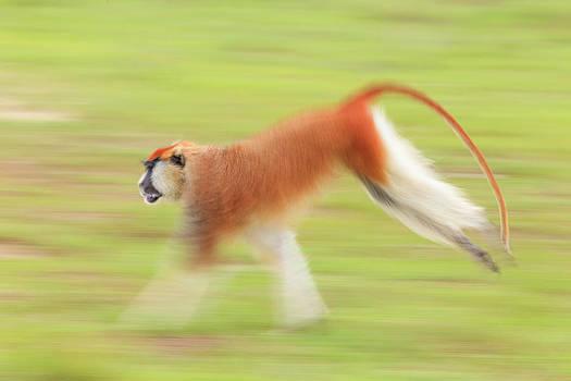 A Blurred Patas Monkey, Erythrocebus by Ronan Donovan