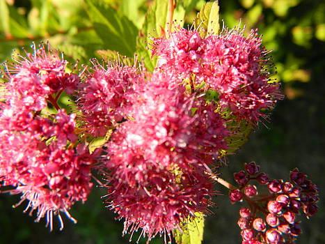 A burgundy bloom by Linda Brown