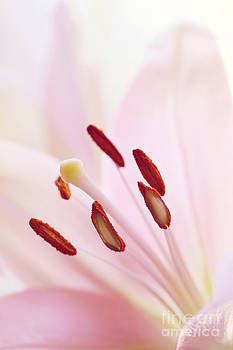 LHJB Photography - A close-up of a pink lily