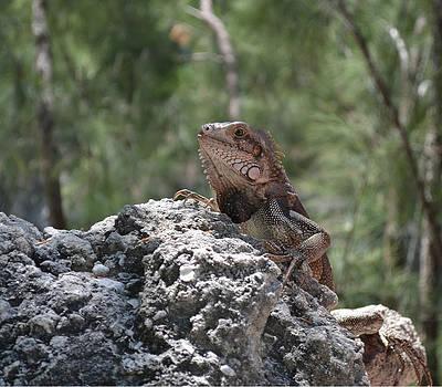 A Cute Iguana by Harold Shull