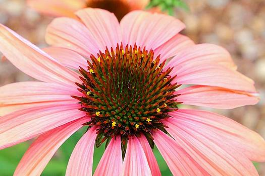 A Daisy for You by Elizabeth Budd