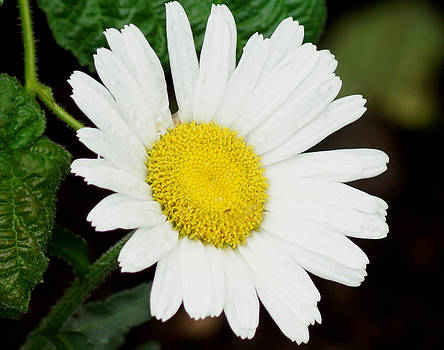 A Daisy If You-Do by Kim Pate
