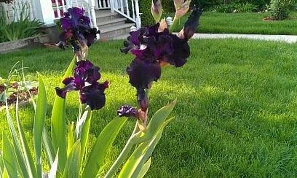 A dark purple Irises by Theresa Crawford