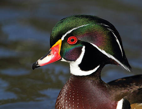 A Duck By Dali by Steve Wolfe