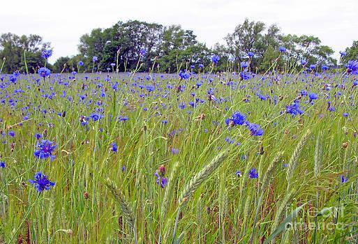 A Field Of Blue #01 by Ausra Huntington nee Paulauskaite