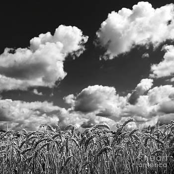 BERNARD JAUBERT - A field of Wheat . Limagne. Auvergne. France