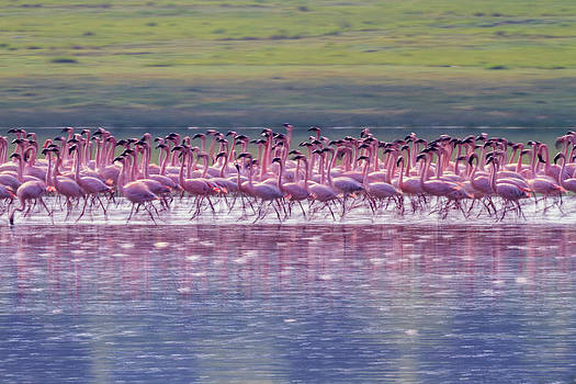 A Flock Of Lesser Flamingos by Ronan Donovan