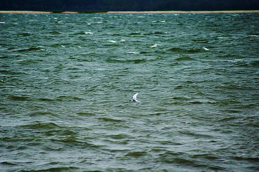 A Forster Tern Fighting The Winds Out At Sea by Kim Pate