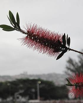 A Free Bottle Brush by Frank Chipasula