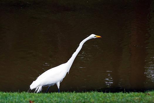 A Great Egret on Hilton Head Island by Kim Pate
