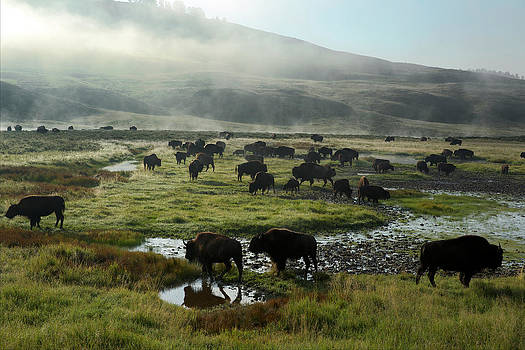 A Herd Of Bison In Yellowstone National by Michael Nichols