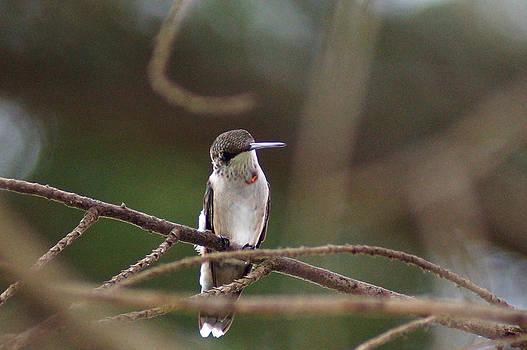 A Hummingbirds glowing throat by Kim Pate