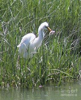A Hungry Great Egret by Spirit Baker