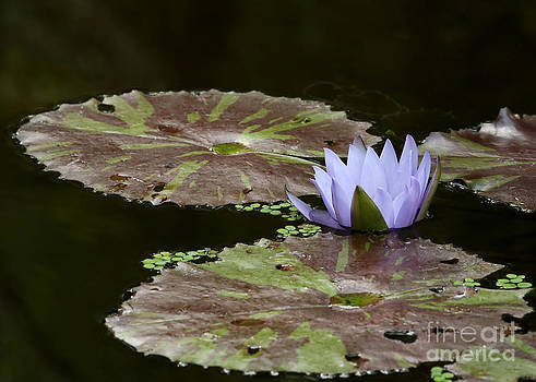 Sabrina L Ryan - A Little Lavendar Water Lily