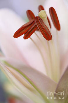 LHJB Photography - A macro of a soft pink colored Lily