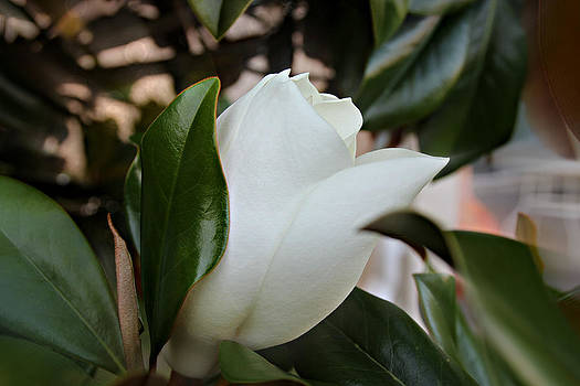 A Magnolia Bloom by Lynn Jordan