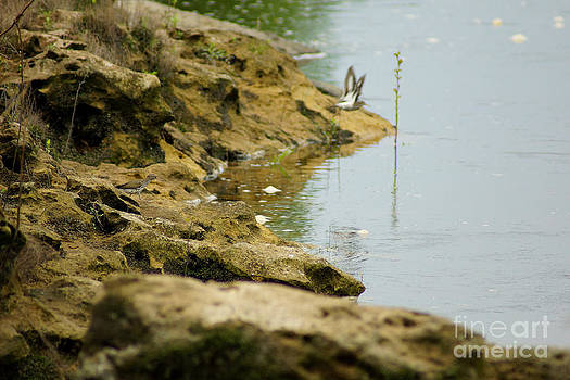 A pair of Spotted Sandpipers by Kim Pate