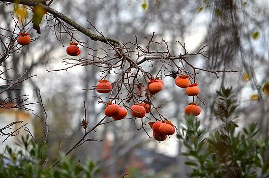 A persimmon tree by Alex King
