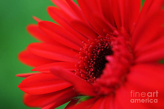 LHJB Photography - A red gerbera