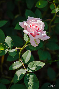 Allen Sheffield - A Rose is a Rose