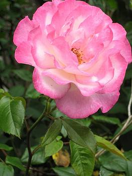 A Rose Is Just A Rose by Melissa McCrann