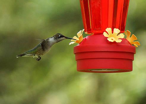 A Ruby-Throated Hummingbird by Kim Pate